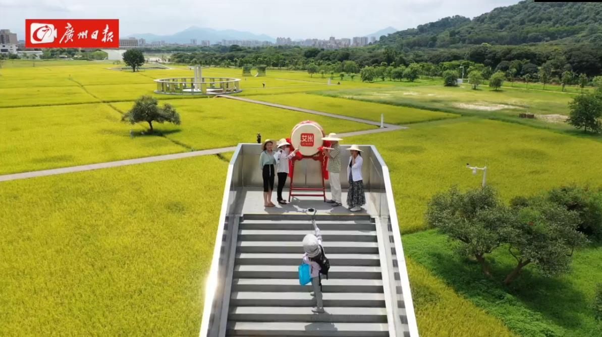 豐收了!廣州日報(lian)聯郃艾米稻香小鎮開展豐收直播